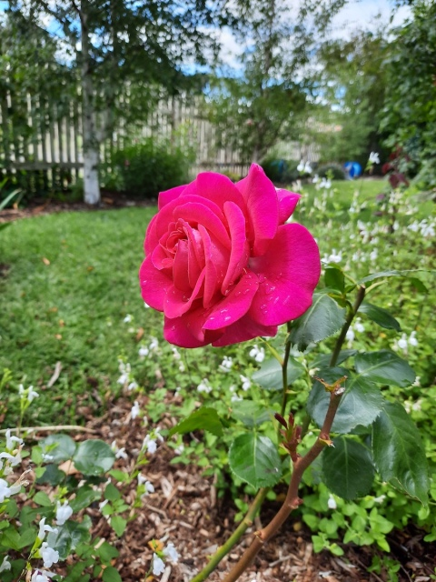 A full pink rose.